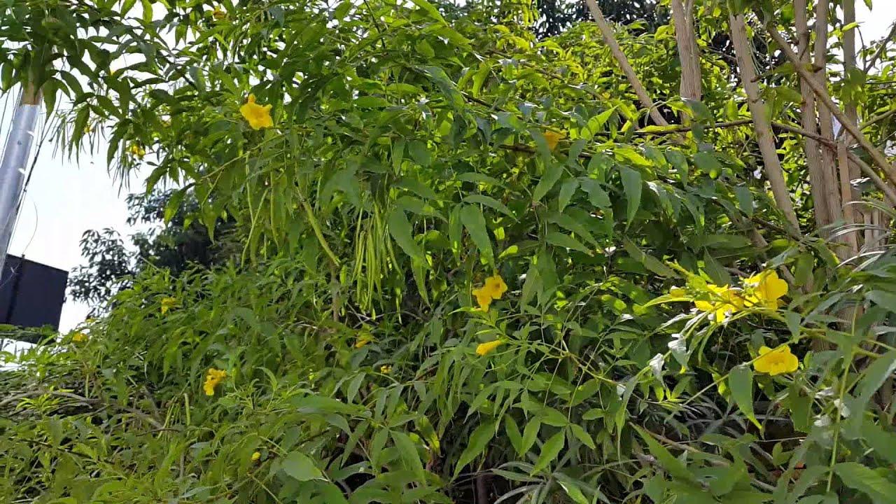 Yellow Nerium Flowers Youtube