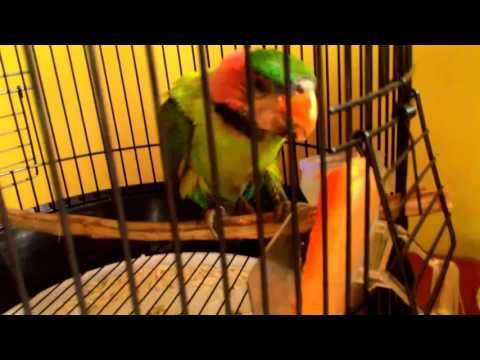 Burung Betet Ekor Panjang Kalimantan Makan Buah Pepaya