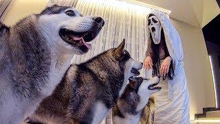 ТРЭШ ПРАНК над хаски Привидение и Собаки