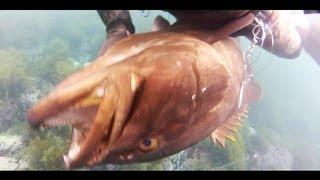 longtooth grouper 友人の動画の代行UPです。手銛(ハリケーン2)です!