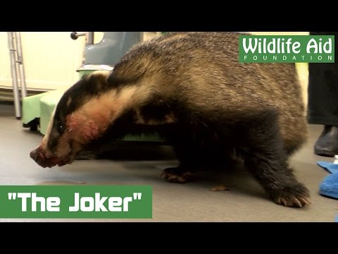 'The Joker' badger recovers after road traffic accident