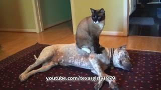 cat sits on dog pit bull sharky funny bossy kitty helenspets com