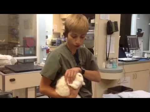 A Bunny Burrito - How to properly hold a bunny for a veterinary ...