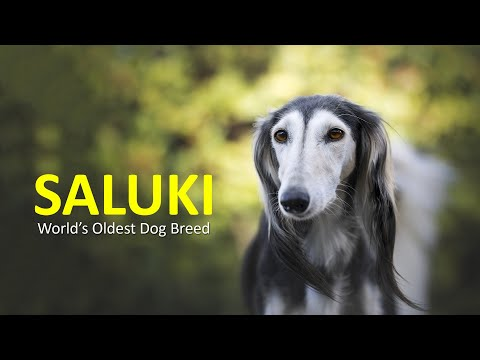 Saluki Dog | Complete Breed Guide About Salukis | Petmoo