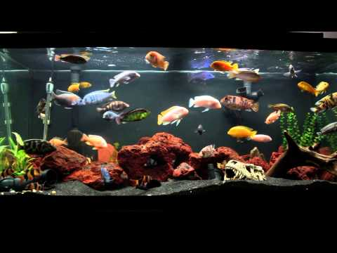 10 Minutes of an African Cichlid Fish Tank