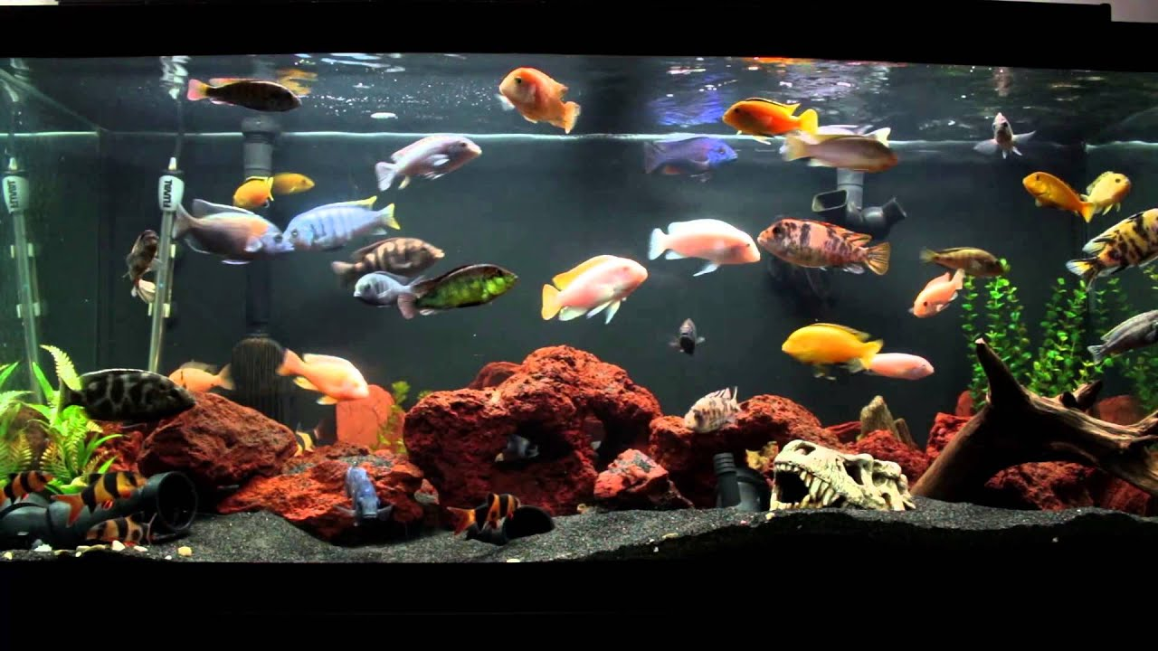10 Minutes Of An African Cichlid Fish Tank Youtube