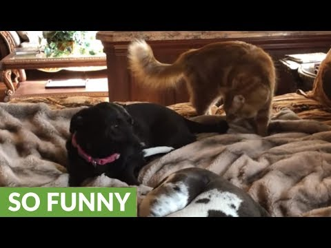 Cat chases dog off Great Dane puppy's bed