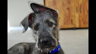 Getting Grohl Our Irish Wolfhound