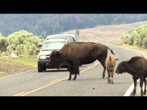 Bison Rush Hour in Yellowstone National Park
