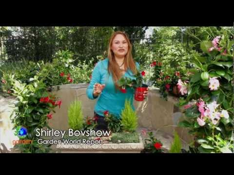 Make a Mini Garden With Sun Parasol Garden Crimson Mandevilla!