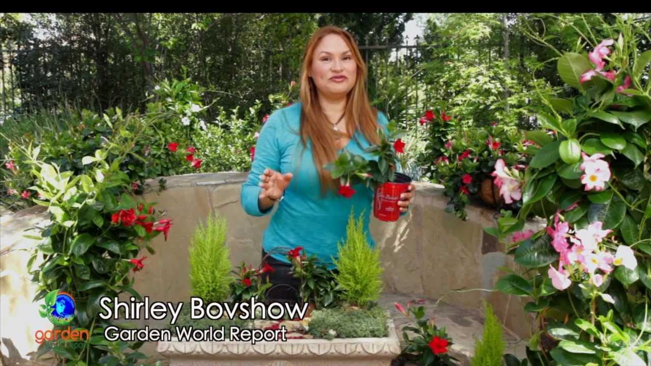 Make A Mini Garden With Sun Parasol Garden Crimson Mandevilla Youtube