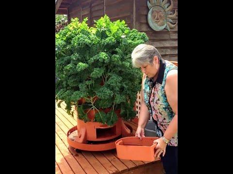 Sue Glenn grows a sea of kale through the winter in her Garden Tower 2 (Washington State)