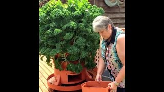 Sue Glenn grows a sea of kale through the winter in her Garden Tower 2 (Washington State)
