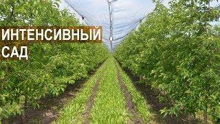 видео Агротехника - яблони, груши.
