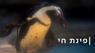 אוקיי בומר: הפינגווינים הזקנים מיואשים מהדור הצעיר
