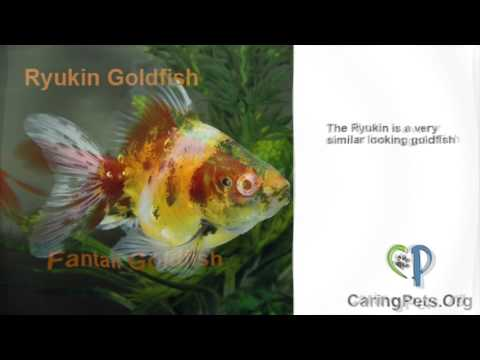 Goldfish Identification Guide