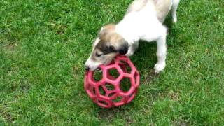 Borzoi Puppies Big Red Ball