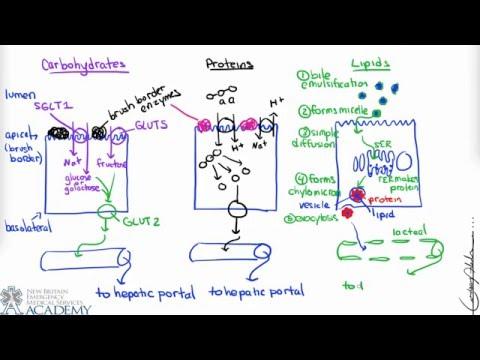 Small Intestine & Nutrient Absorption
