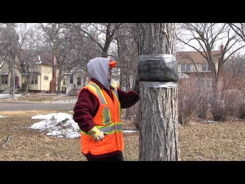 How To Get Rid Of Gypsy Moth Caterpillars Organically