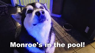 My Dog Tells On Husky | She Was In Pool | Then Goes For A Swim