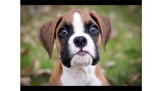 The cutest dog ever (boxer dog)