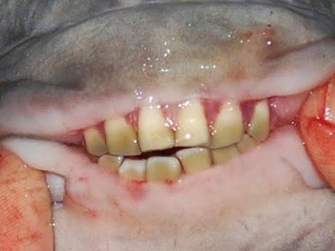 Вопрос: В чем секрет зубов пираньи?
