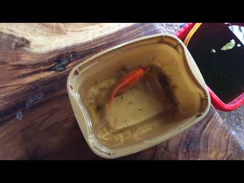 Goldfish Ulcer Treatment - How To Treat Goldfish Ulcer