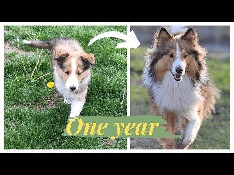 FIRST YEAR OF A SHELTIE!