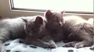 Плюшевые британские котята
