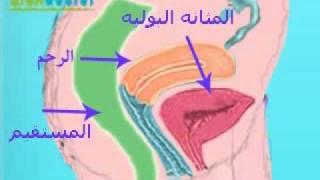 الجهاز التناسلى للأنثى Female genital system