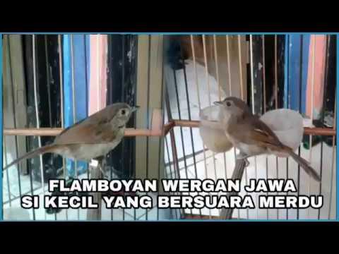 Mengenal Lebih Dekat Burung FLAMBOYAN | Perbedaan Jantan ...