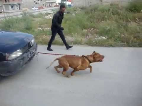 "Souvent pitbull ""baguèra"" pulling a car 1160 kilos from tunisia. apbt red  MW79"