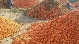 মিষ্টি কমলা চাষ করে ওমর ফারুক খান এক বছরে কোটিপতি হয়েছেন চুয়াডাঙ্গা বাংলাদেশ