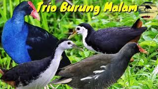 Mix Suara Pikat Burung Sawah Mandar Biru