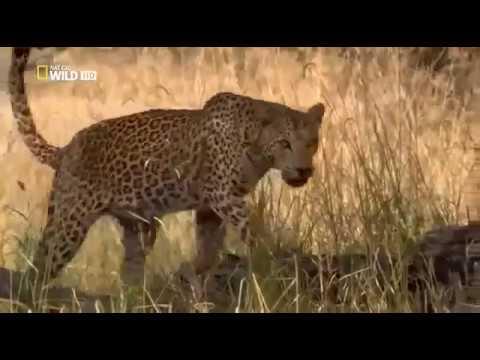 Самые таинственные хищники семейства кошачьих Дельта реки Окованго Ботсваны в Африке Законы леопарда - Ruslar.Biz