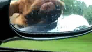 Dogue De Bordeaux Riding In The Car