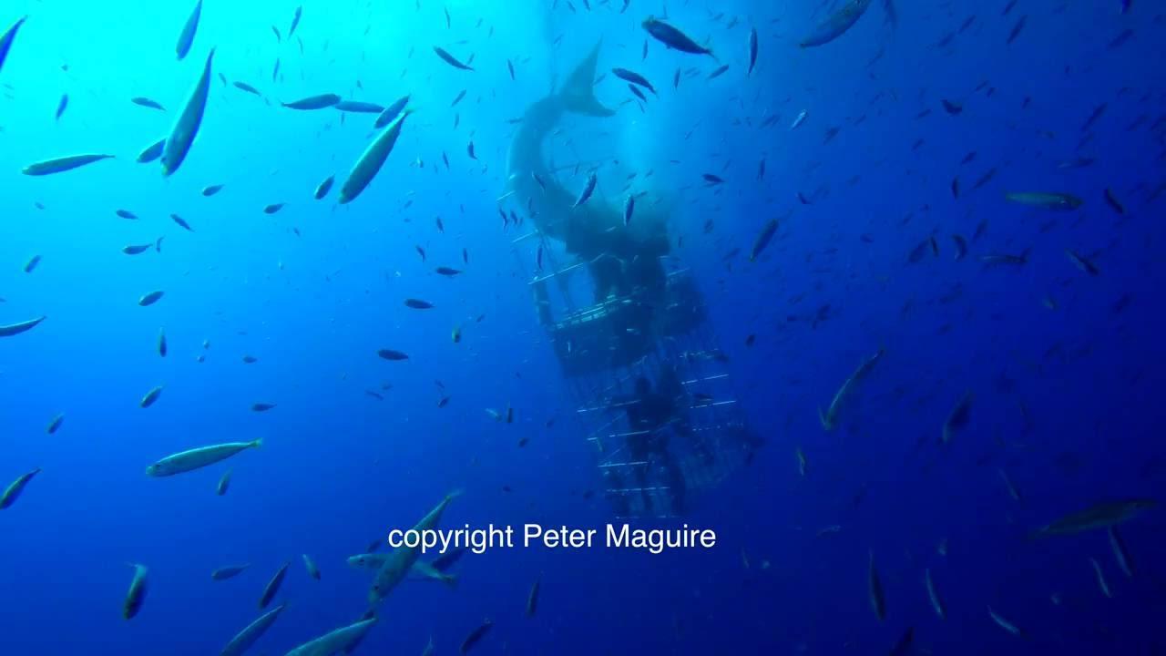 ダイビング中にホオジロサメに襲われる衝撃映像。