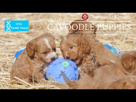 Miniature Cavoodle Puppies