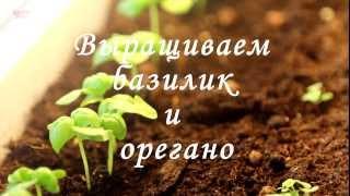 видео Как вырастить базилик у себя на балконе.