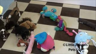 Little Rascals Uk Breeders New Litter Of Chihuahua Puppies
