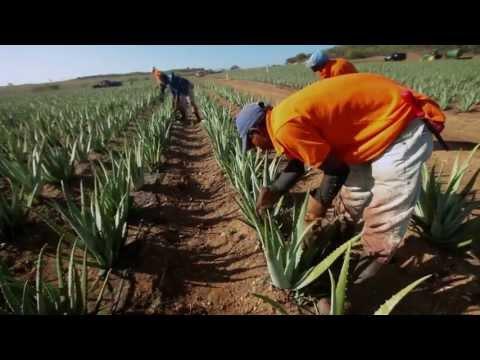 Aloe Vera America Plantations Tour