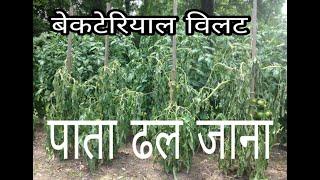 Bacterial wilt vegitable like Tomato,Brinjal,pumpkin cucumber/टोमेटो का बैक्टीरियल विल्ट कैसे पहचाने