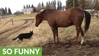 Horse not happy with overly-affection German Shepherd