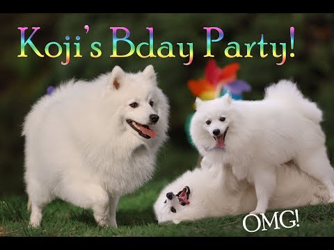 Japanese Spitz Birthday Party!