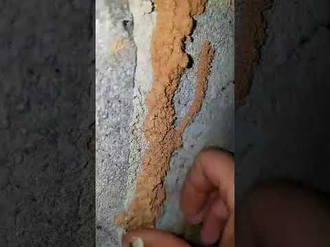 termite mud tube video