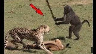 забавное животное старается не смеяться || обезьяна и лев, тигр, кошка, собака