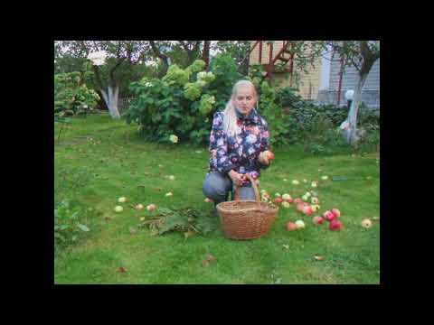 Как сохранить битые яблоки