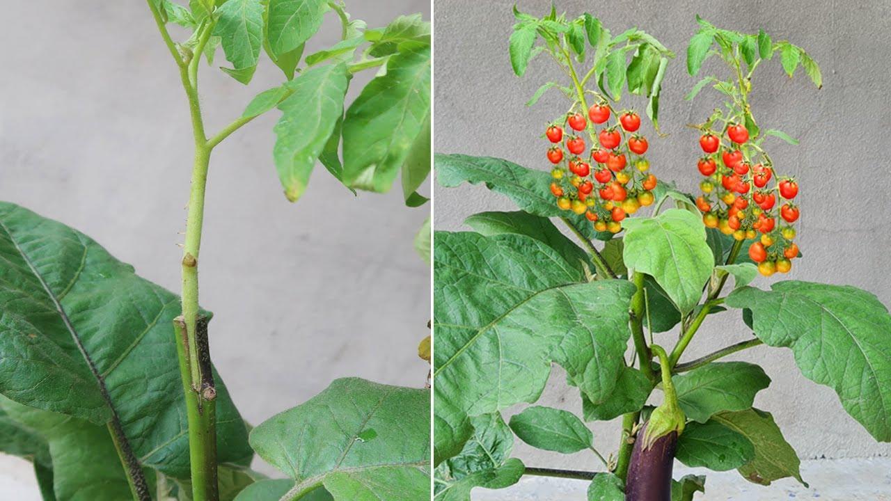 Method of Grafting Tomato plants on Eggplant plants
