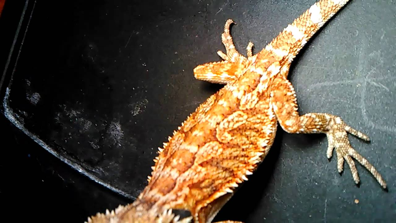 Bearded Dragons Males