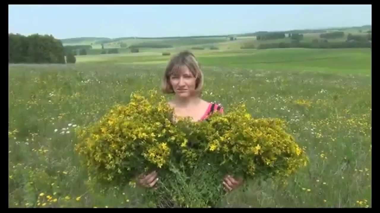 зверобой трава фото